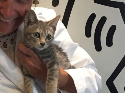 The veterinarian holding a beige and grey kitten