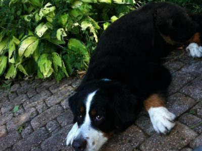 A black, white and brown St. Bernard laying down on a stone path