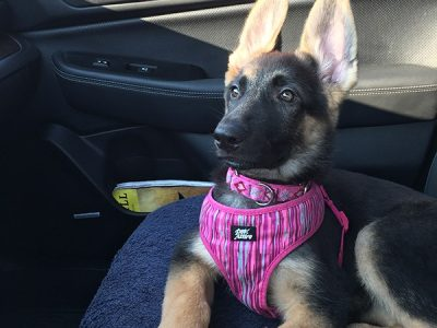 A black and tan German Shepherd puppy laying down in the front seat of her car