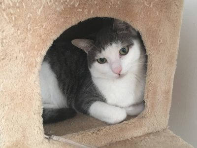 A white and grey cat looking out from inside a cat tower