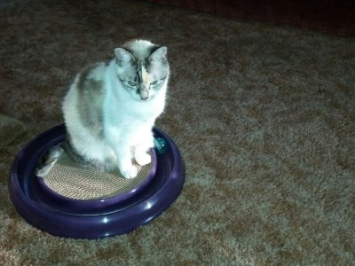 A white and grey cat sitting on a scratch pad toy